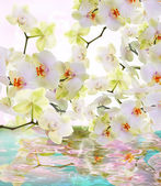 Beautiful water flowers Japanese Orchid.Beauty.Flora — Stock Photo