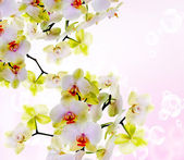 Exotic Japanese flower orchid.Beauty background.Spa concept — Foto Stock