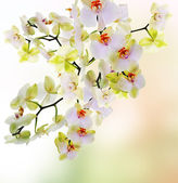 Exotic Japanese flower orchid.Beauty floral Card — Stock Photo