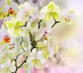 Exotic Japanese flower orchid. — Foto de Stock