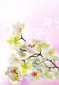 Japanese flower Orchid.Beauty floral Card — Stock Photo