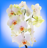 Beautiful Flower Orchid on abstract background — Stock Photo