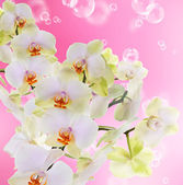 Beautiful Flower Orchid on abstract pink background — Photo