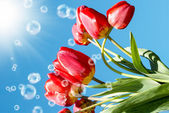 Bouquet beautiful red tulip on blue sky background — Stock Photo
