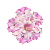 Beautiful Abstract Bouquet pink Lily on a white — Stock Photo
