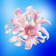 Lily.Flower icon.Floral background — Stock Photo #47278399