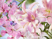 Light Pink Lily.Floral background — Stock fotografie