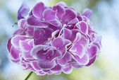 Hydrangea garden.Floral background — Stock Photo