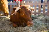 Bull resting in hay in an enclosure — Stock Photo