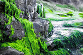 Bright green seaweed growing on rocks — Stock fotografie