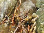 Crudo crawfishes.closeup. — Foto de Stock