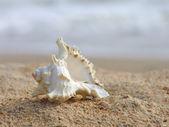Bir kum üzerinde deniz kabuğu. — Stok fotoğraf