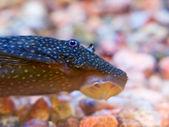 Aquarium fish Ancistrus dolichopterus. — Stock Photo