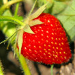 Red ripe strawberry on a garden bad. — Stockfoto