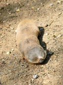 Lesser mole rat (Nanospalax leucodon). — Stock Photo