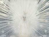 White colorful peacock fanned tail. — Stock Photo