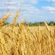 Stock Photo: Wheat ears on field against blue sky and clouds.