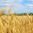 Wheat ears on field against blue sky and clouds. — Stock Photo