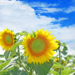 Sunflower taken closeup against blue sky. — Foto Stock #28104053