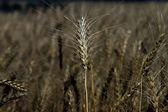 колосья пшеницы в темноте. — Стоковое фото
