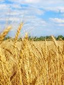 青い空と雲に対してフィールド小麦の穂. — ストック写真