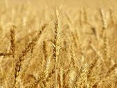 колосья пшеницы на поле получения крупным планом. — Стоковое фото