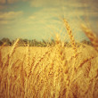 Yellow ripe wheat ears on field. — Foto de Stock