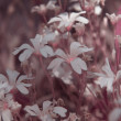 White flowers with pink tonal correction. — Stock Photo