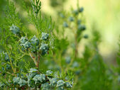Thuja branch with cones. — Stock Photo