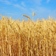 Wheat ears on a field. — Stock Photo