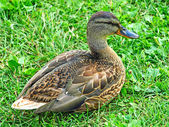 Grey duck sitting on a green grass. — Photo