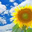 Stock Photo: Bright sunflower taken against blue sky.