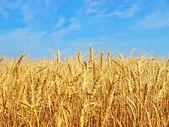 Golden wheat ears. — Stock Photo