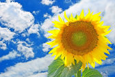 Bright sunflower taken against the blue sky. — Stock Photo