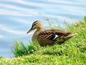 Wild duck on the river coast. — Stock Photo