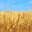 Yellow wheat ears against blue sky. — Stock Photo