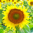 Stock Photo: Ripe yellow sunflowers.