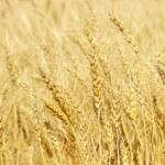 Ripe yellow wheat ears on a field taken closeup. — Stock Photo #30225597