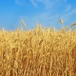 Stock Photo: Yellow ripe wheat ears.