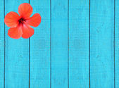 Blue wooden fence with red hibiscus flower.Background. — Stock Photo