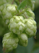 Ripe hop cones. — Stock Photo