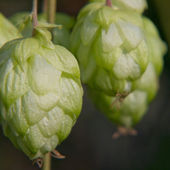 Ripe green hop cone.Beer production. — Stock Photo