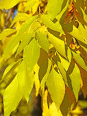 Yellow leaves of silver birch. — Stock Photo