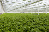 Largest greenhouse lettuce — Stock Photo