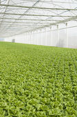 Lettuce Greenhouse — Stock Photo
