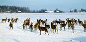A deer herd in winter — Stock Photo