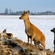Stock Photo: Deer herd in winter
