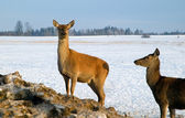 A brown deer in winter — Stock Photo