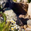 Beautiful chamomile near stones — Stock Photo