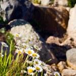 Beautiful chamomile near stones — Stock Photo